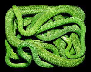 """Guido Mocafico, artista e fotografo naturalista, ha deciso in questa sua opera """"serpens"""", serpenti, di immortalare questi magnifici animali in pose innaturali per la loro natura. L'artista ha voluto sottolineare quindi il caos del movimento continuo di un serpente in contrasto con la staticità della posizione rettangolare della scatola in cui sono stati fotografati."""
